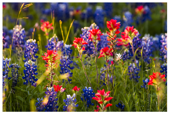 Tx Wildflowers Bluebonnets and Indian Paintbrush