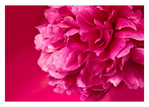 Hot Pink Peony on Pink Background