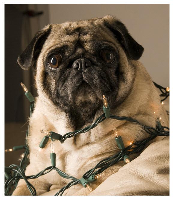 Holiday Pug in Xmas Lights