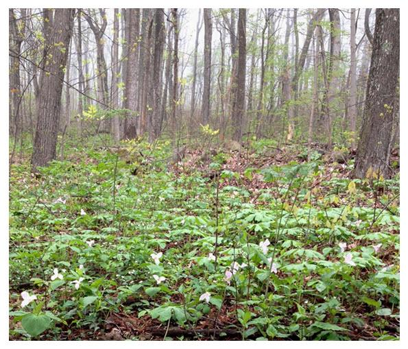 Trillium in woods 1