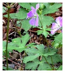 Trillium in woods 2