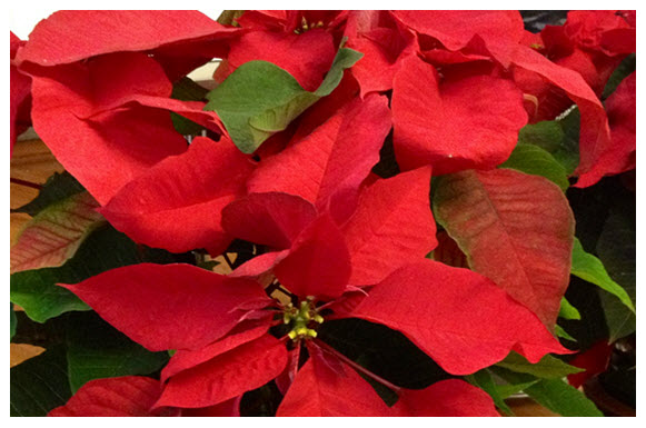 seasonal-poinsettias